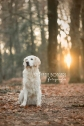 golden retriever - stefopstraat stephanie bongers fotografie 1logo