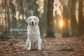 golden retriever - stefopstraat stephanie bongers fotografie 2logo